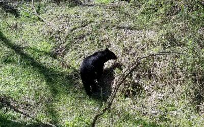 Bear Family in Sky Harbor